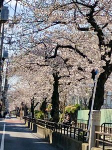 Tachiaigawa Greenway street cherry blossoms