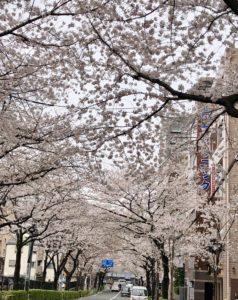Kamuro zaka dori street cherry blossoms