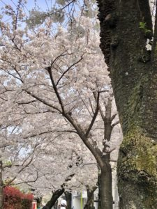 Kitazawagawa Greenway cherry blossoms