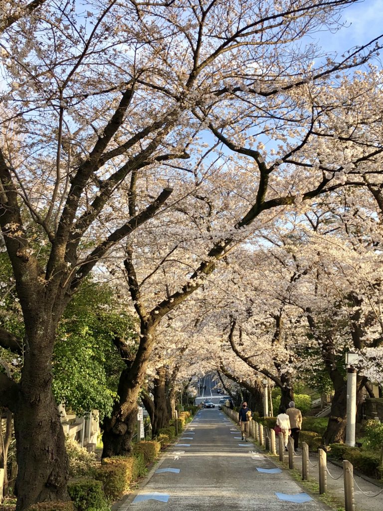 Aoyama cemetery cherry blossoms