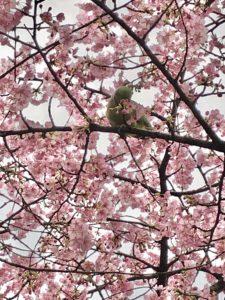 Tokyo Sakura cherry blossom spot travel guide Rinshi-no-mori park