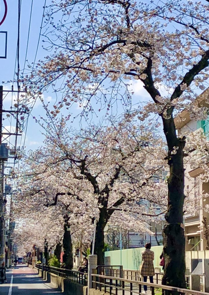 Tachiaigawa Green Way street cherry blossoms