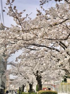Nomikawa Greenway cherry blossoms