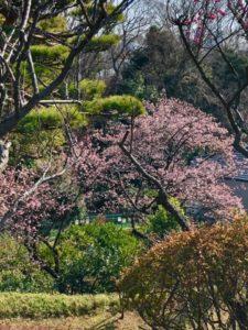 Tokyo Sakura cherry blossom place travel guide Todoroki keikoku