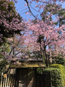 Tokyo Sakura cherry blossom spot travel guide Happo-en