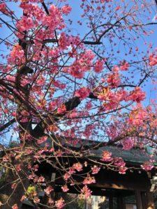 Tokyo Sakura cherry blossom spot travel guide Ebara shrine