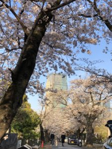 Aoyama cemetery cherry blossoms