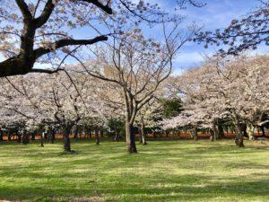 Yoyogi park cherry blossoms