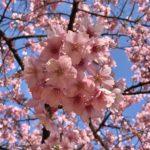 Tokyo Sakura cherry blossom travel guide