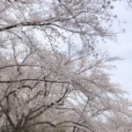 Tokyo Institute of Technology Ookayama campus cherry blossoms