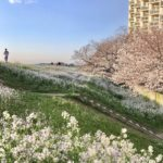 Tamagawa river cherry blossoms